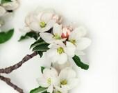 Apple Blossom Still Life Flower Photography 8x10 - lucysnowephotography