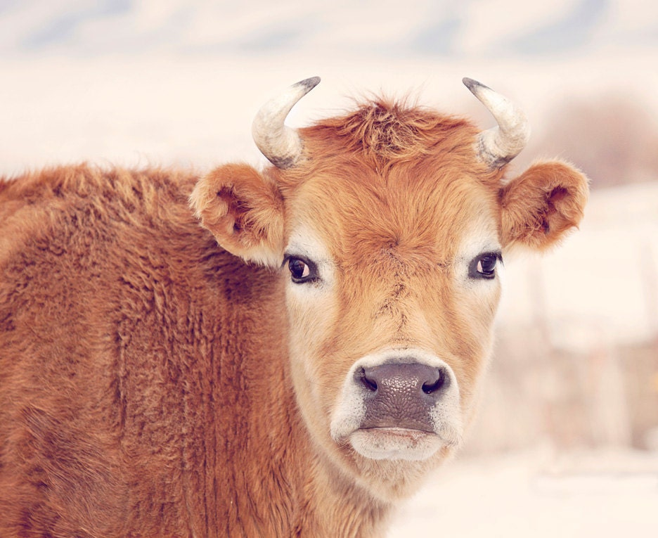 Cute Cow Photograph Farm And Country Wall Art Animal