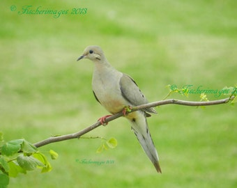 Mourning Dove Nature Wall Art Photo Print