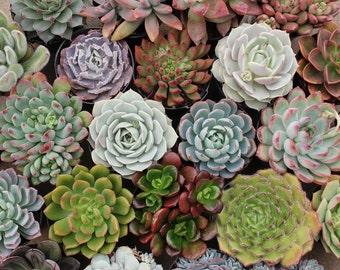 "SAMPLE 2 TOTAL - 1 Beautiful  2.5"" Rosette Succulent  and 1 Beautiful 2"" Rosette succulents-"
