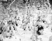 Fine art photography print, nature photography. Forest in Winter. Nature of Latvia.