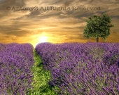Lavender Fields and Lone Tree at Sunset 8 x 10 Fine Art Print