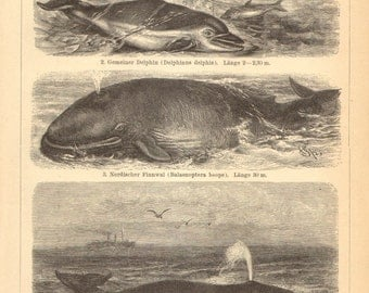 1897 Whales, Narwhal, Short-beaked Common Dolphin, Blue Whale, Bowhead Whale Original Antique Engraving to Frame