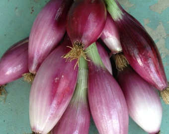 Italian Onion Red of Florence Heirloom Torpedo Type Variety Superior Mild Flavor Grown to Organic Standards Rare Seeds