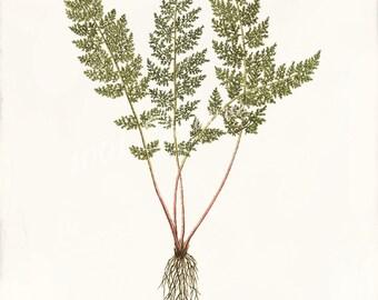 Polypodium alpinum - Antique Botanical Art Print  - 5 x 7 - Fern