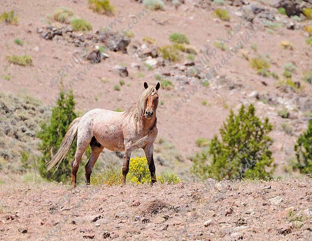 Rojo 2 Strawberry Roan Mustang Stallion - photo#6