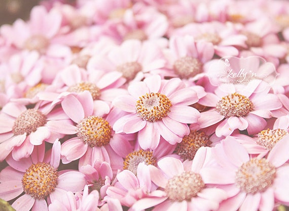 flower photography pink daisies photo nature photography, Beautiful flower