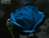Blue Rose - Signed photo 8 X 8  - BOGO sale - romantic fantasy flower nature ghotic night blossom spring valentine