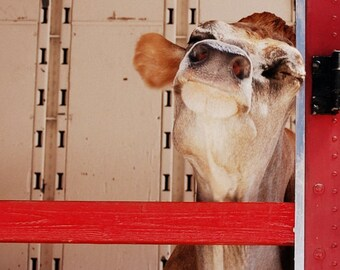 Bessie the Cow - 5x7 Folded Card - Animal Photography