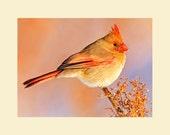 Northern cardinal female bird photograph- 5 x 7 matted