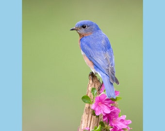 Eastern bluebird on rhododendron bird photograph- 8x10 matted
