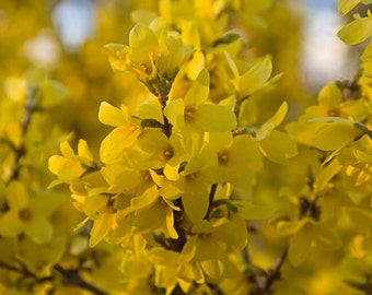 Black Friday Sale - Nature Photograph Flower photography Yellow Forsythia Photo fine art print under 50 home decor theartisangroup