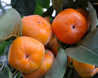 Organic Heirloom 10 Seeds Asian Persimmon Tree Seeds Orange Huge Fruit Seeds Fresh Sweet F171