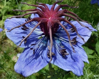 Heirloom 1000 Seeds Black Cumin nigella sativa Roman coriander blue Flower Bulk Seeds B0063