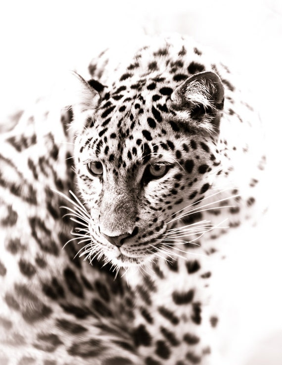 Leopard Wall Art Home Decor ~ Leopard art monochrome animal artwork wildlife home decor