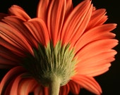 Flower Photography - Gerber Daisy photo, orange flower photo, nature photography, botanical art print, 8x10 fine art