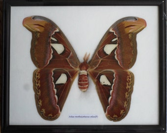 Real The Atlas Moths(F) Butterfly Insect Gift Taxidermy in frame BTF18