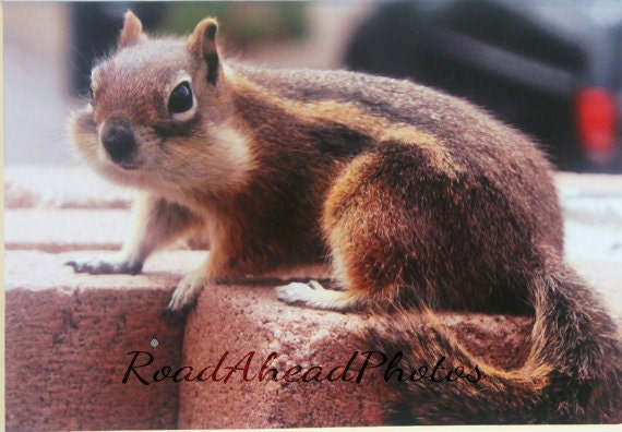 5x7  chipmunk, wildlife,