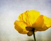 "Floral Photography Yellow Poppy Petal Flower Home Decor 8x12 Print ""Yellow Poppy"""