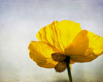 """Floral Photography Yellow Poppy Petal Flower Home Decor """"Yellow Poppy"""""""
