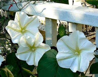 Giant Moonflower Vine, Calonyction, 15 seeds, huge white blossoms, sweet fragrance, night bloomer, annual vine, all zones, cool houseplant