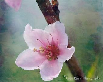 Peach Blossom 2, Fine Art Photography, Flower Photography, Floral Photography