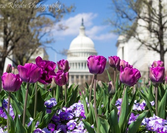 Capitol in Spring - Landscape Print (Various Sizes) - Washington DC, Purple Tulips, Blooming, Flowers, Monuments, National Mall