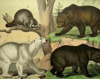 1886 Antique large size lithograph of BEARS: Black Bear, Grizzly Bear, Polar Bear, Raccoon. 130 years old gorgeous print.
