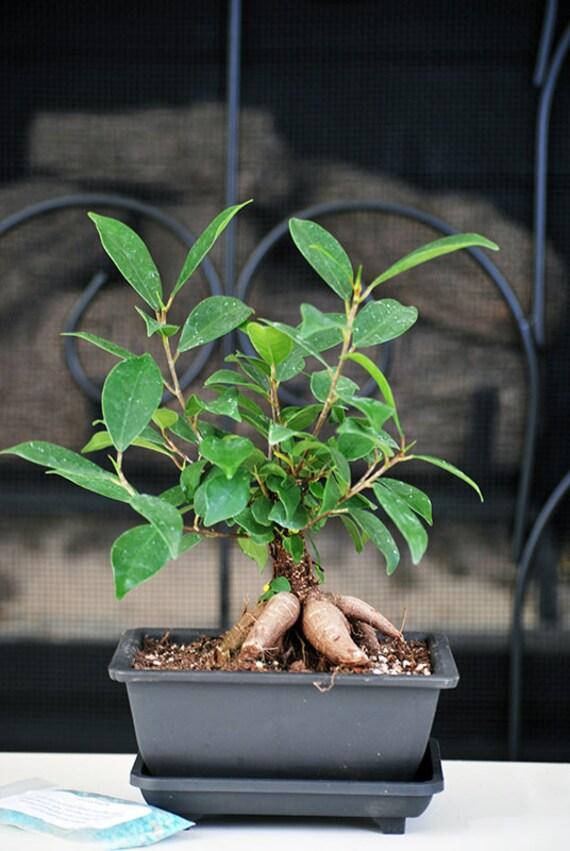 live ginseng ficus bonsai tree bonsai small ficus retusa. Black Bedroom Furniture Sets. Home Design Ideas