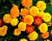 BULK, Heirloom, Marigold Crackerjack, Keep Rabbits Out of Your Garden, 100 Seeds