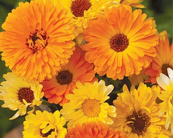 50% off! Calendula Pacific Beauty Mix, Medicinal Qualities Too, Attracts Butterflies, Cheapseeds, 25 Seeds