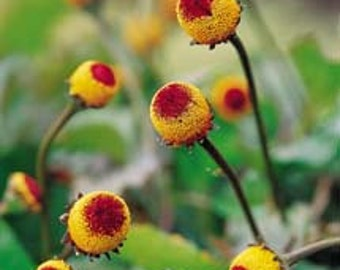 Toothache Plant Herb, Numbing Qualities, Peek A Boo Plant, 25 Seeds
