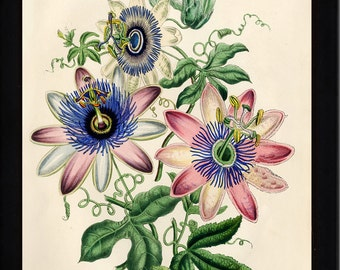 BOTANICAL PRINT Loudon Flower  Botanical Art Print 9 Beautiful Antique Pink White Blue Passion Flower Spring Garden