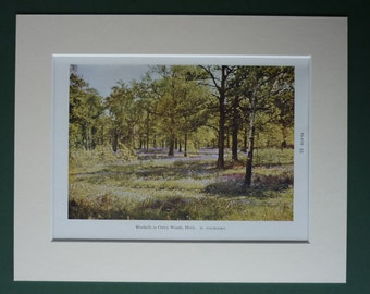 Original 1945 Print Of Bluebells In Oxley Woods - English Nature - London - British Countryside - Forest - Matted - Trees - W Suschitzky