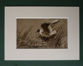 Original 1920s Print Of A Black Headed Gull - Nest - Eggs - Beach Bird - Matted - Ornithology - Black & White - Photograph - Antique - Sepi
