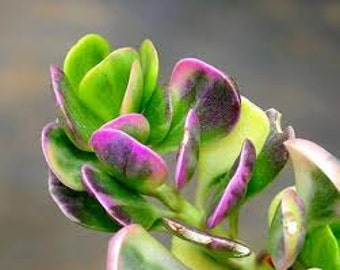 Succulent Plant. Senecio Jacobsenii. This plant has exquisite coloring. Deep green leaves that shade to pale lilac and purple seasonally.