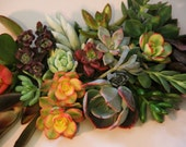 5 Colorful Succulent Cuttings, 2-5""