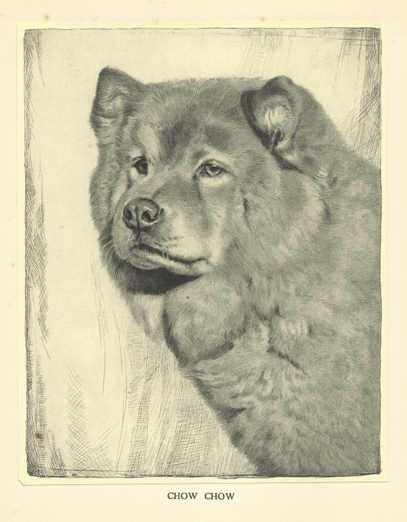 Chow Chow Etching By Malcolm Nicholson 1935 Dog Print Wall Art