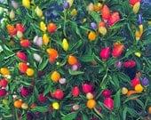 15 - Heirloom Ornamental Hot Pepper Seeds -  Prairie Fire - Heirloom Hot Pepper Seed, Christmas Pepper, Prairie Fire Seed, Ornamental Pepper