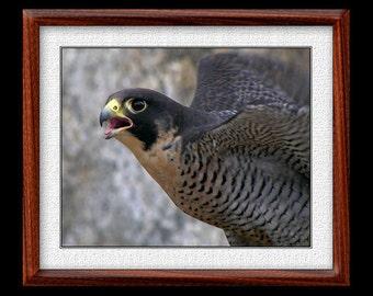 Peregrine Falcon Print - 8x10 or 11x14 Peregrine Falcon Photograph - Bird Photograph - Peregrine Falcon Art (P9)
