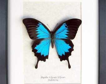 Metallic Blue Swallowtail Papilio Ulysses Real Butterfly In Shadowbox