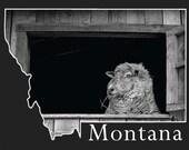 Montana Postcard- Brambles the Sheep
