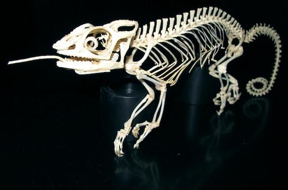 Veiled chameleon skeleton - photo#33