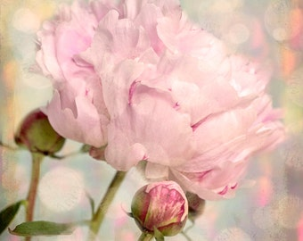 Nature photography, Peony, Flower, Bud, Pink, Shabby chic, Wall Decor.