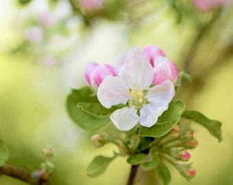 "Nature Photography, Apple Blossom, Spring flowers,10"" x 8"" photograph, Wall Art, Home Decor."