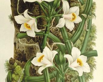 Vanilla print vintage flower print Cottage wall art Victorian print  French decor antique print Flower decor Botanical wall art Garden print