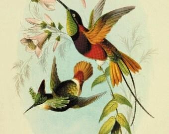 Hummingbirds Bird art print Antique prints nature wall art Vintage prints Victorian print home decor art Garden art print bird art