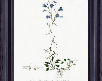 BOTANICAL 8x10 Vintage Giclee Print Antique Fine Art Painting Robert THORNTON  Blue Small Flowers Plain Background to Frame BF0007
