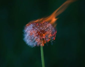 Nature photography, dandelion photography, fire potography, burning dandelion