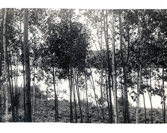 vintage photograph 1911 Birches Photograph print
